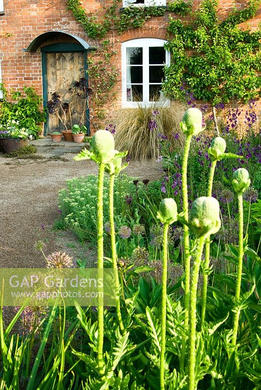 Buds of oriental poppies with front of house beyond - Ivy Croft, Leominster, Herefordshire, UK