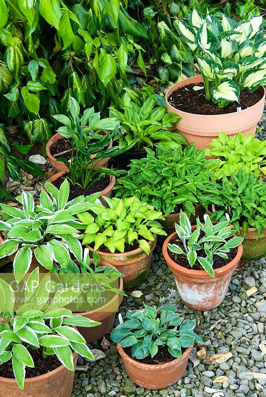 Collection of small Hostas in pots - Ivy Croft, Leominster, Herefordshire, UK