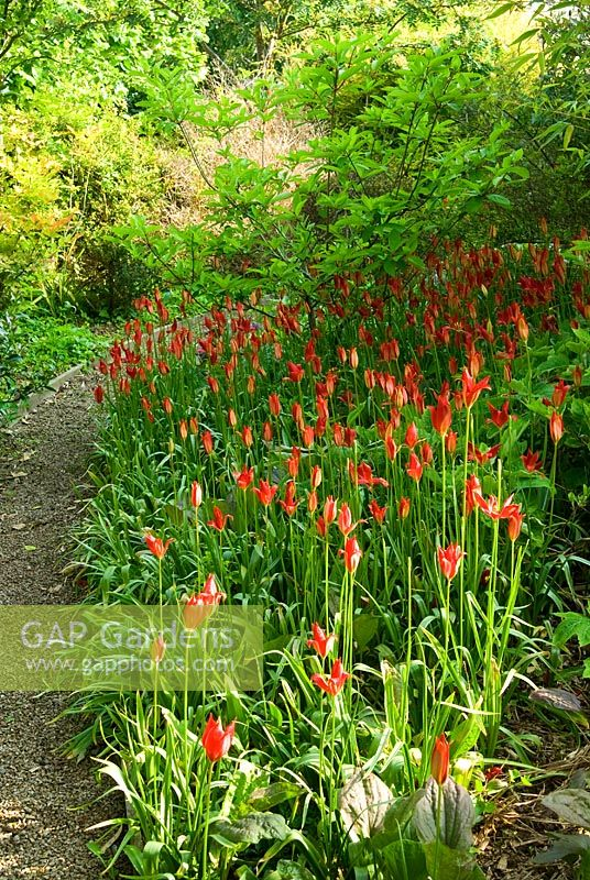 Bright red Tulipa sprengeri - Ivy Croft, Leominster, Herefordshire, UK