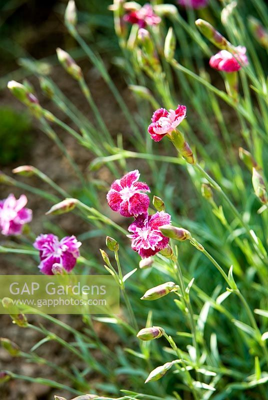 Dianthus - Ivy Croft, Leominster, Herefordshire, UK