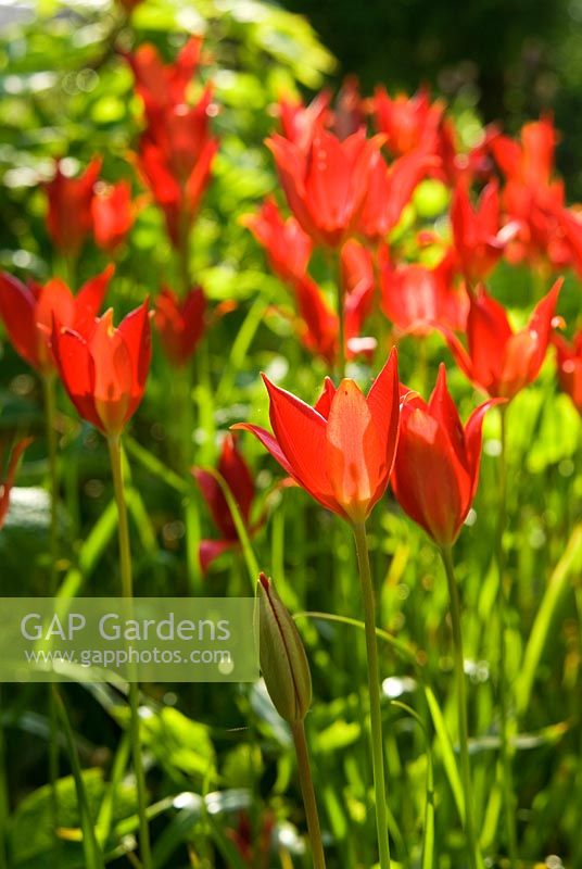 Tulipa sprengeri - Ivy Croft, Leominster, Herefordshire, UK