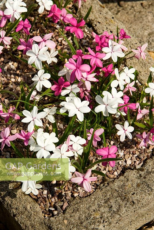 Rhodohypoxis in tufa trough - Ivy Croft, Leominster, Herefordshire, UK