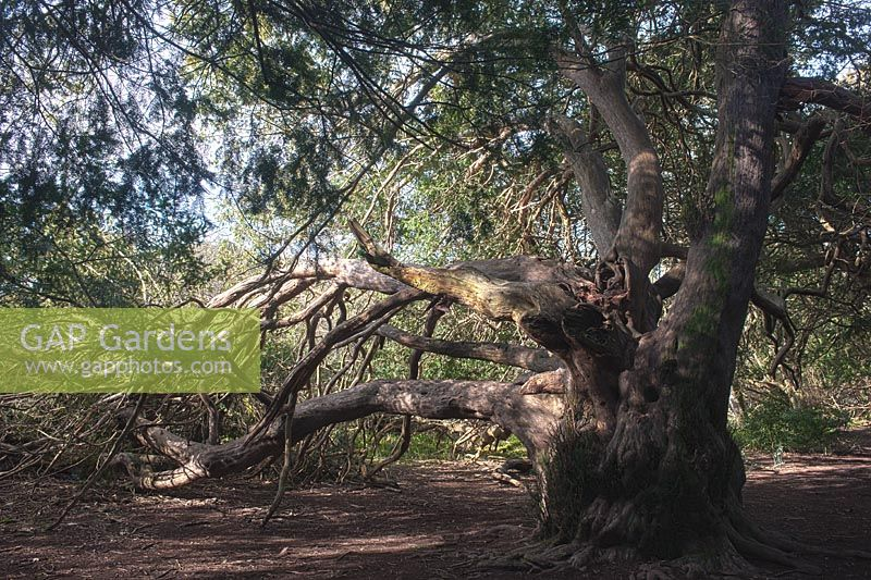 Ancient Taxus baccata - Yew tree growing in forest for 2000 years at Kingsley Vale, Sussex, England