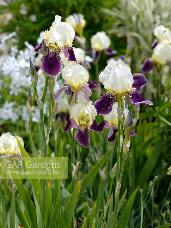 gap gardens iris barbata elatior 39 wabash 39 image no. Black Bedroom Furniture Sets. Home Design Ideas