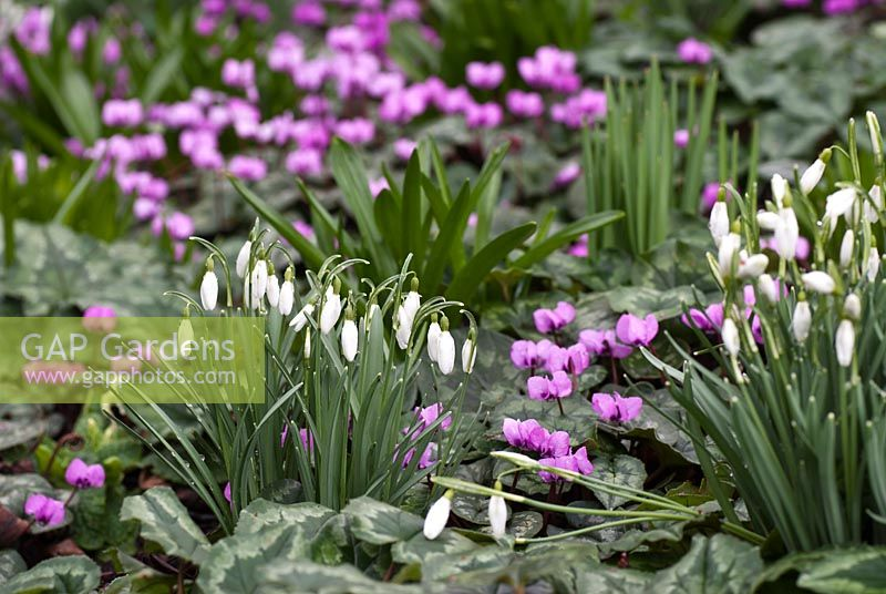 Cyclamen coum with Galanthus