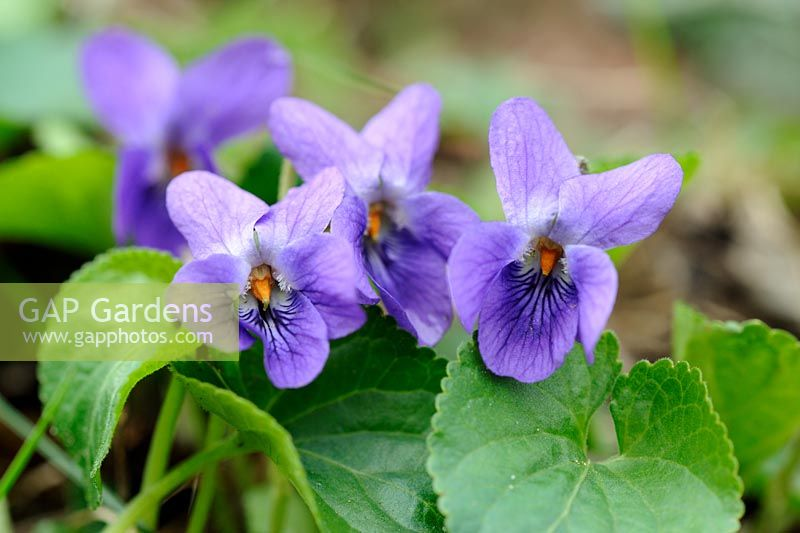 Viola odorata - Sweet Violet, Norfolk, UK, April