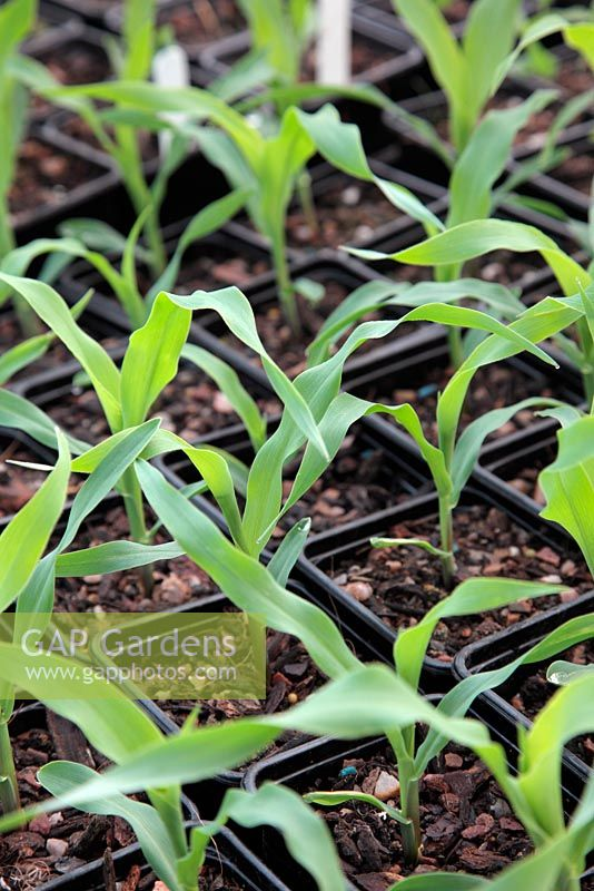 Sweet Corn 'Earligold' planted in individual pots and grown under fleece for an early crop, almost ready for planting out