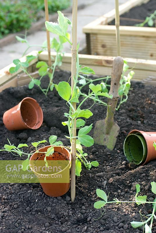 Planting out Sweet peas in vegetable bed