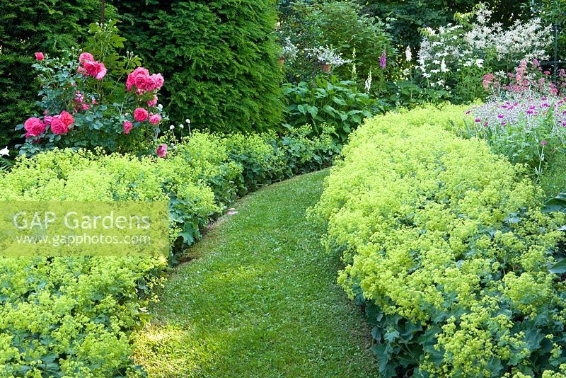 Borders of Alchemilla mollis, Rosa 'Rosarium Uetersen', and hedge of Taxus baccata with lawned path