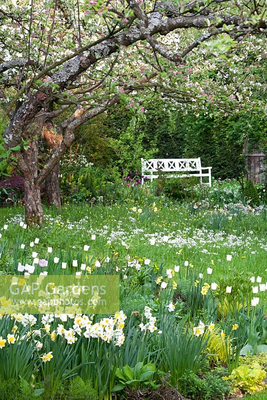 Narcissus 'Geranium', Narcissus 'Barrett Browning', Tulipa 'Maureen' and Malus - Apple trees in blossom