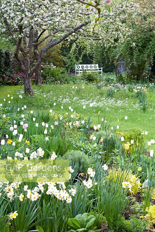 Narcissus 'Geranium', Narcissus 'Barrett Browning', Tulipa 'Maureen' with flower meadow and flowering appletrees