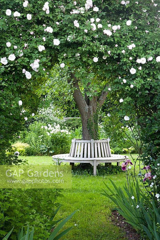 Arch with Rosa 'Adélaide d'Orléans', wooden bench around tree