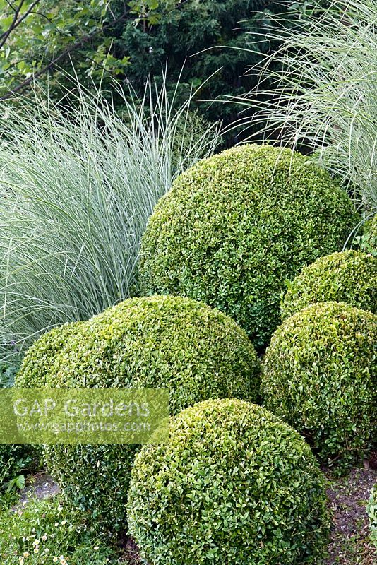 Buxus sempervirens - Box balls, Miscanthus sinensis 'Morning Light'
