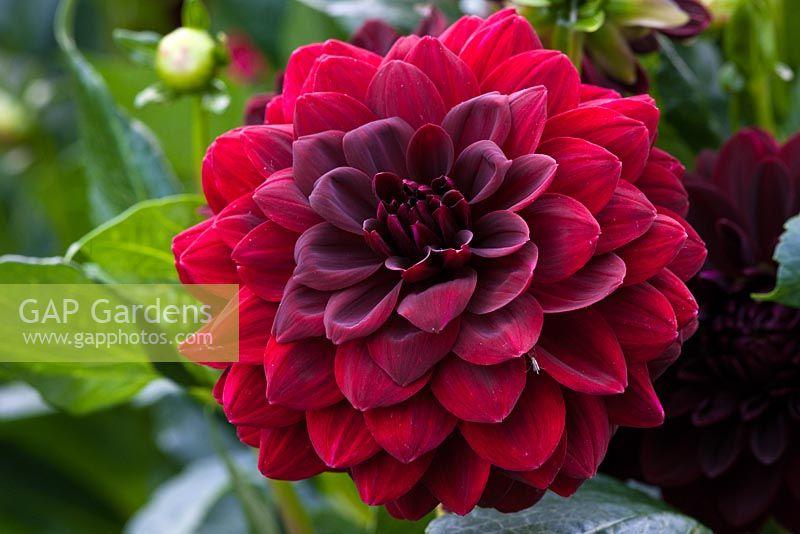 gap gardens dahlia 39 arabian night 39 waterlily image no. Black Bedroom Furniture Sets. Home Design Ideas