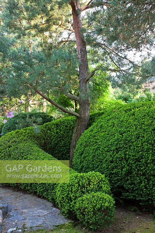 Topiary winding around a pine tree in a Japanese garden - Pinus sylvestris and Taxus baccata