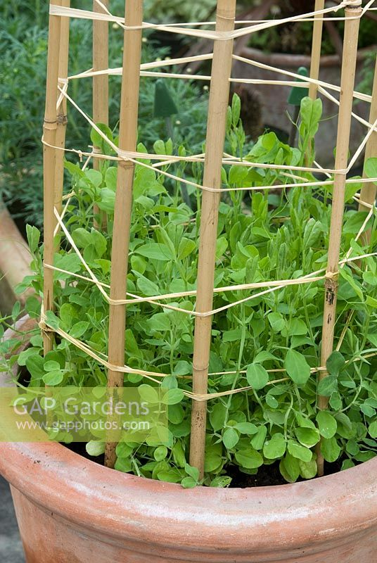 Young Lathyrus Sweet Pea Plants Growing In Clay Pot With Cane Support And Twine