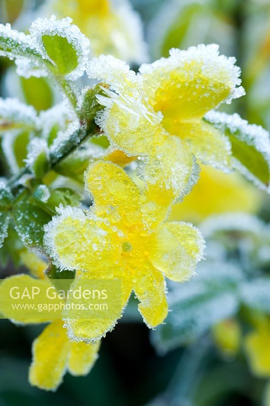 Jasminum nudiflorum -  Frosty flowers in late autumn