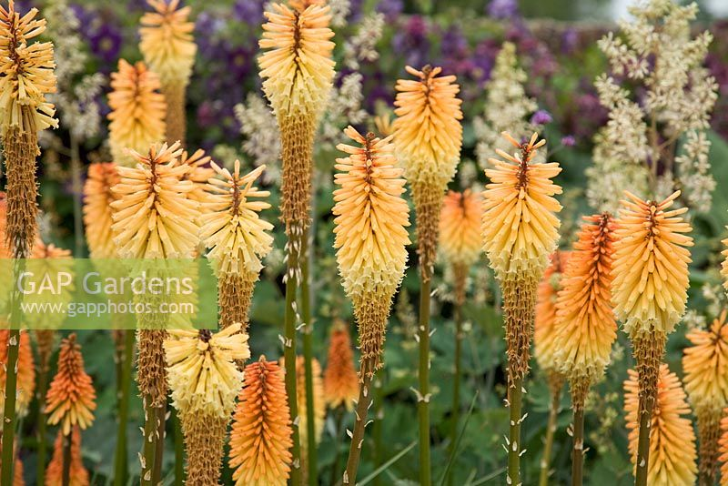 Orange spires of Kniphofia 'Tawny King'