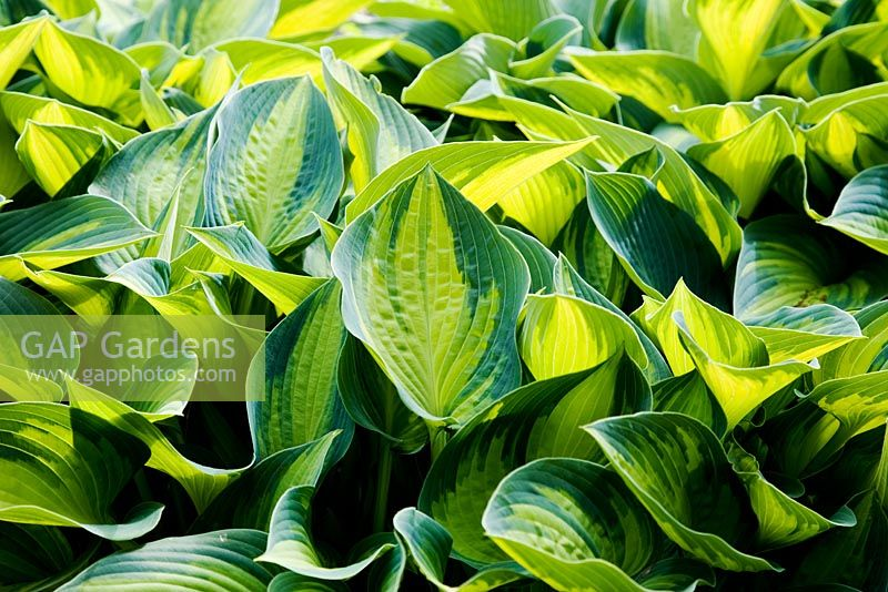 Variegated foliage of Hosta 'June' - Tardiana Group