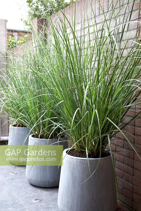 gap gardens cortaderia selloana 39 pumila 39 image no 0251628 photo by visions. Black Bedroom Furniture Sets. Home Design Ideas