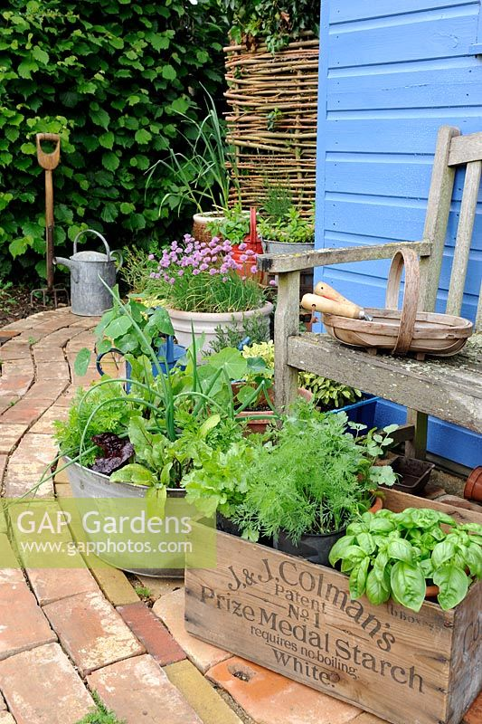 Garden corner with reclaimed brick path and blue shed, with container herbs and salad vegetables, Norfolk, England, may