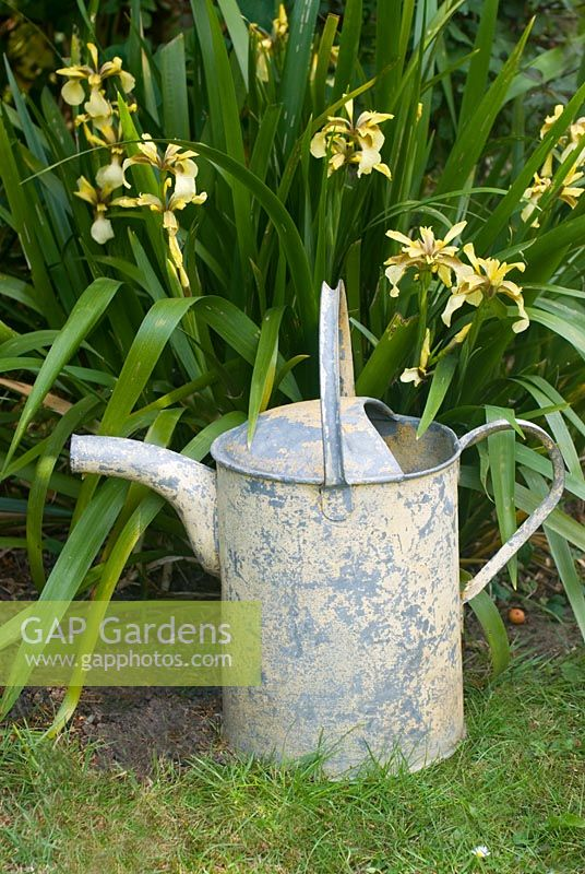 Iris foetidus with yellow watering can