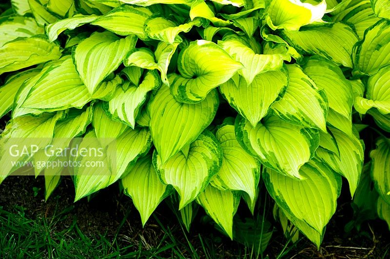 Hostas growing at Cloud Cottage