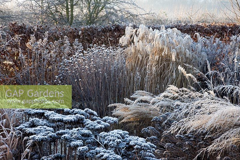 Frosty herbaceous border in winter, with Miscanthus sinensis 'Flamingo', Molinia caerulea 'Transparent', Monarda 'Cherokee' seed heads and Sedum telephium 'Matrona'.
