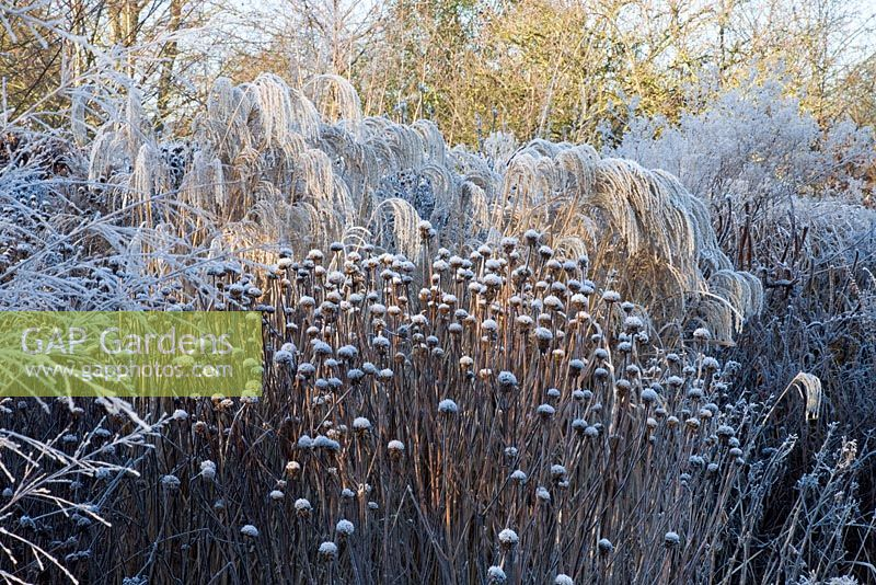 Prairie planting with frost in winter.  Miscanthus sinensis 'Flamingo' and seed heads of Monarda 'Cherokee'