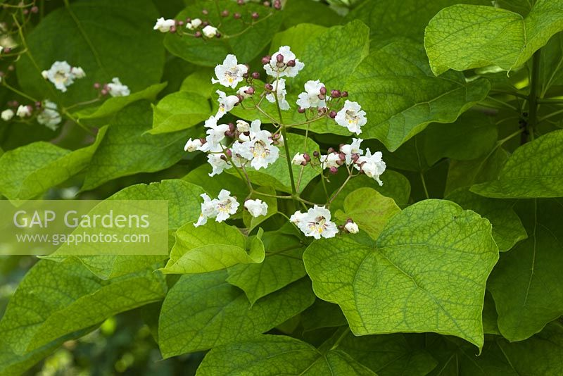 Gap gardens white flowers of catalpa bignonioides in summer white flowers of catalpa bignonioides in summer indian bean tree mightylinksfo