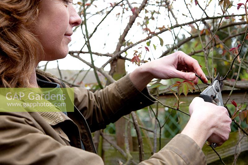 Pruning a climbing rose with secateurs