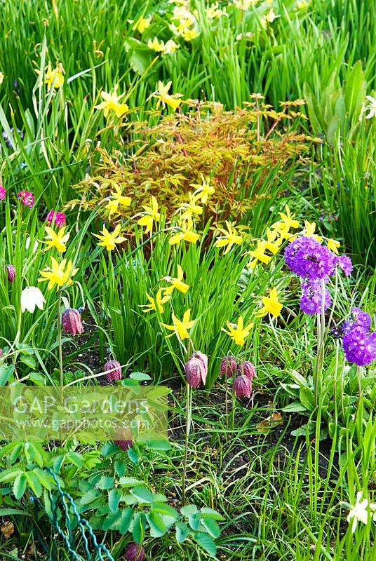 Bog planting around the pond includes primulas, small daffodils and snakeshead fritillaries, Fritillaria meleagris. Chiffchaffs, nr Bourton, Dorset, UK