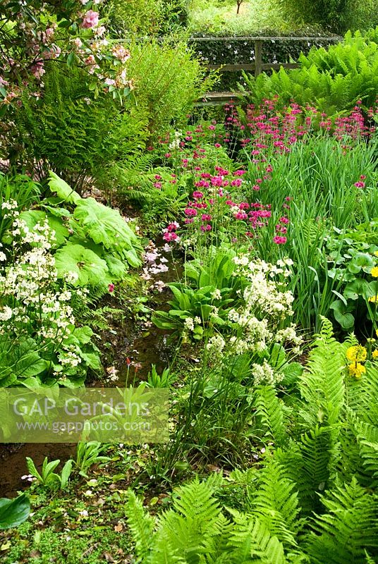 Bog Planting Along The Stream Including Candelabra Primulas Ferns Rodgersias And Hostas Hidden