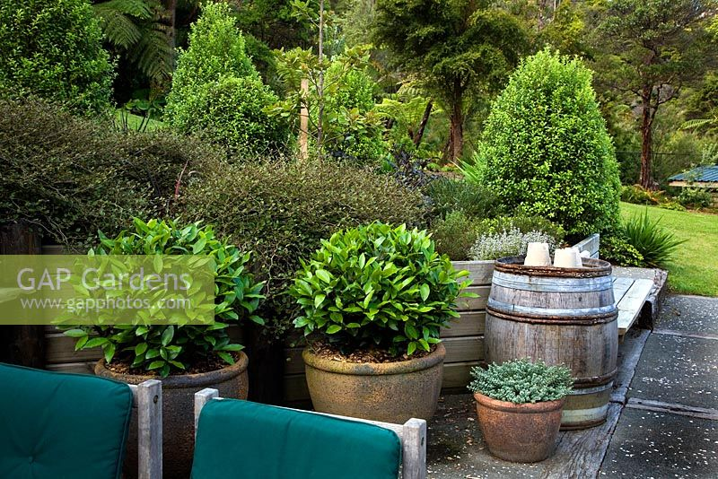Bay trees in containers with hedge of Carpodetus serratus 'Prostrata', Pittosporum 'Mountain Green'.
