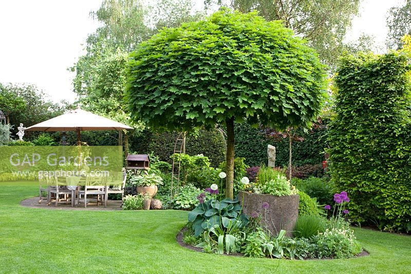 gap gardens country garden with patio clipped acer platanoides 39 globosum 39 norway maple tree. Black Bedroom Furniture Sets. Home Design Ideas