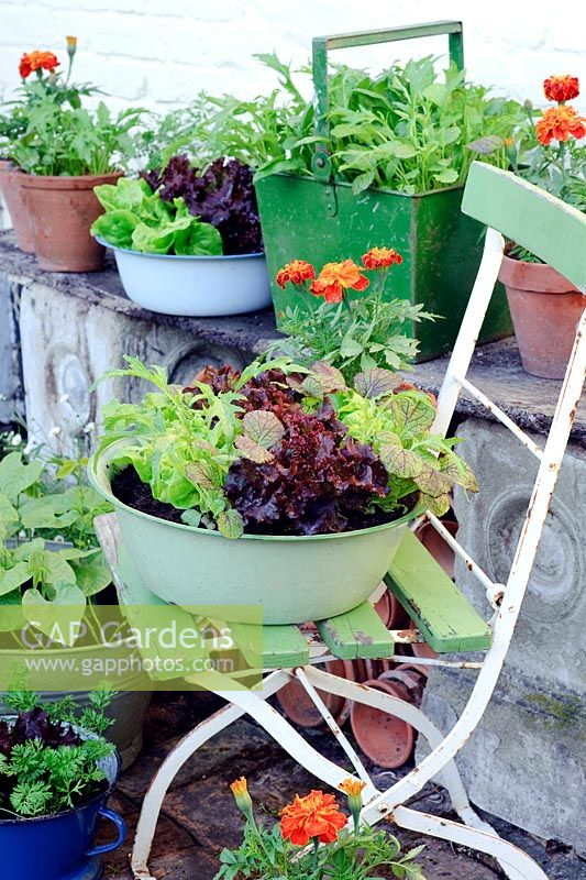 Salad growing in assorted vintage containers including Lettuce 'Tom Thumb and 'Fiamma', Spinach 'Emilia', Salad Leaves 'Spicy Green Mix', Dwarf Beans and Carrot 'Rondo'