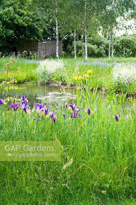 Iris 'Gypsy Beauty' naturalised in grass by pond. Please credit Wickets, Essex, NGS