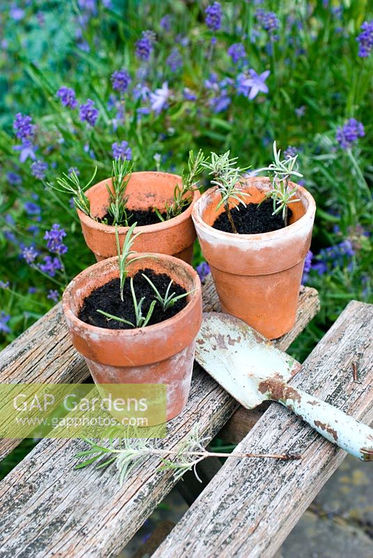 Taking cuttings of lavender