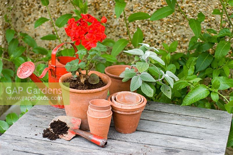 Potting up red Pelargonium  - Geranium with clay pots and red trowel