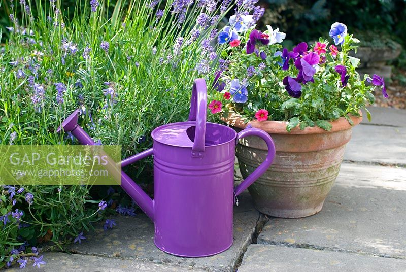 Purple Viola - Pansies with watering can and Lavandula angustifolia 'Hidcote' - Lavender