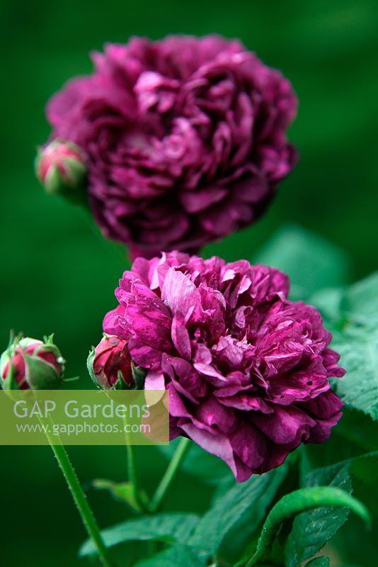 Gap Gardens Rosa Cardinal De Richelieu Agm Gallica Shrub Rose