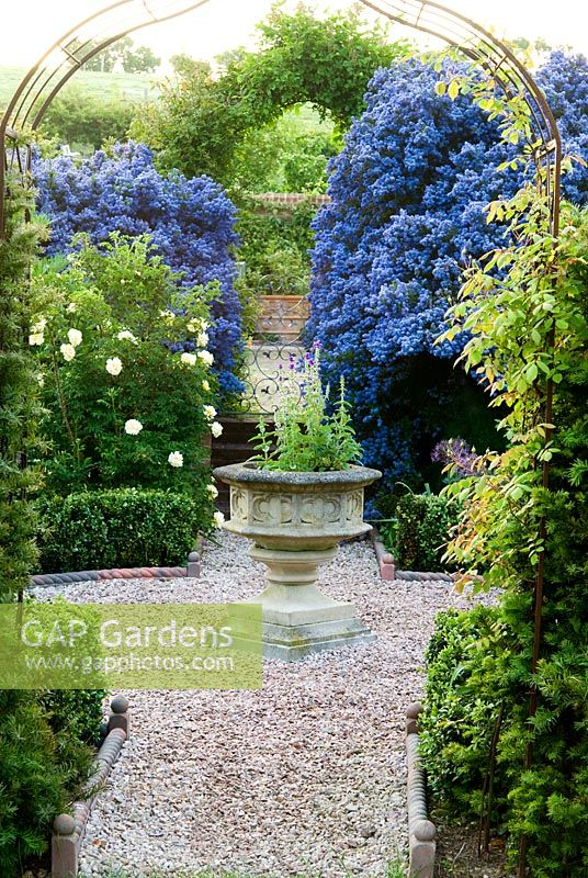 gap gardens ceanothus arboreus 39 trewithen blue 39 frames. Black Bedroom Furniture Sets. Home Design Ideas
