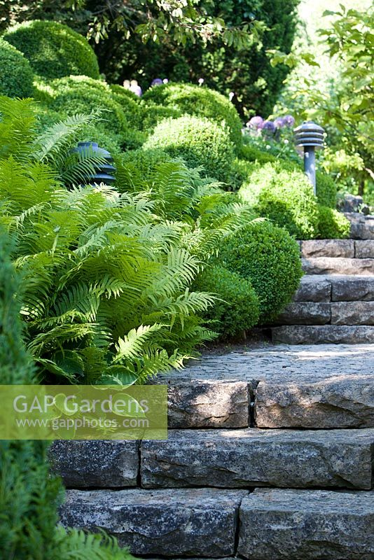 Stone steps edged with Dryopteris and Buxus sempervirens