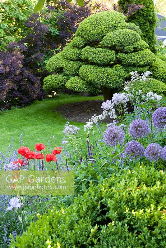 Country garden with clipped Ilex crenata tree, Nepeta x faassenii 'Walkers Low', Papaver orientale, Allium 'Globemaster'