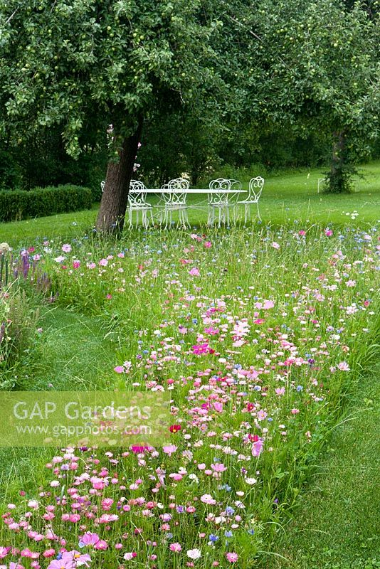Summer meadow with seating area under fruit trees and planting of Cosmos bipinnatus and Helichrysum