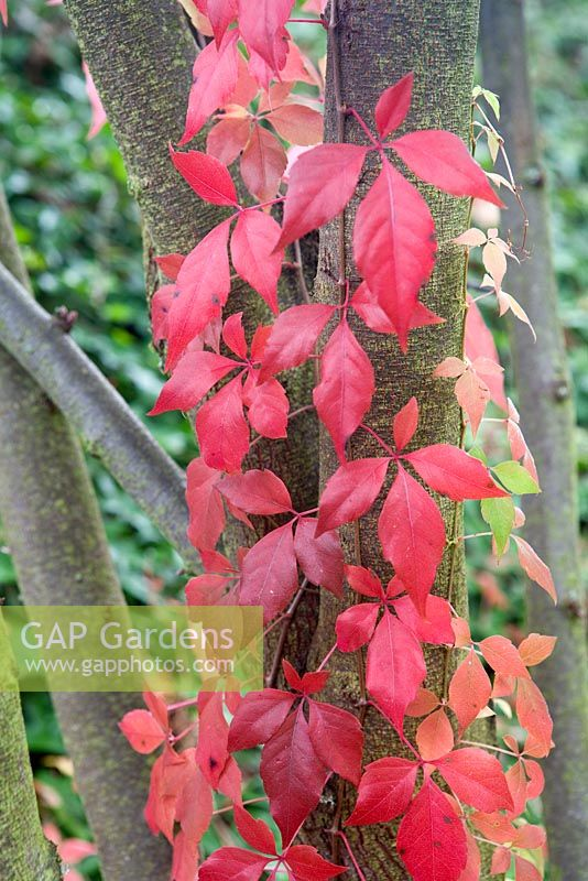 Parthenocissus quinquefolia climbing up tree trunk