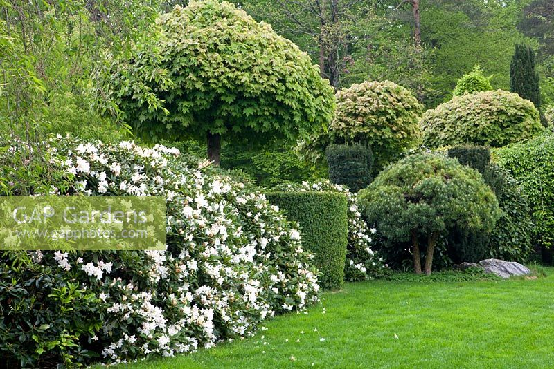 gap gardens rhododendron 39 cunningham 39 s white 39 pinus and. Black Bedroom Furniture Sets. Home Design Ideas