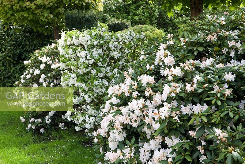 rhododendron cunninghams white rhododendron cunninghams. Black Bedroom Furniture Sets. Home Design Ideas