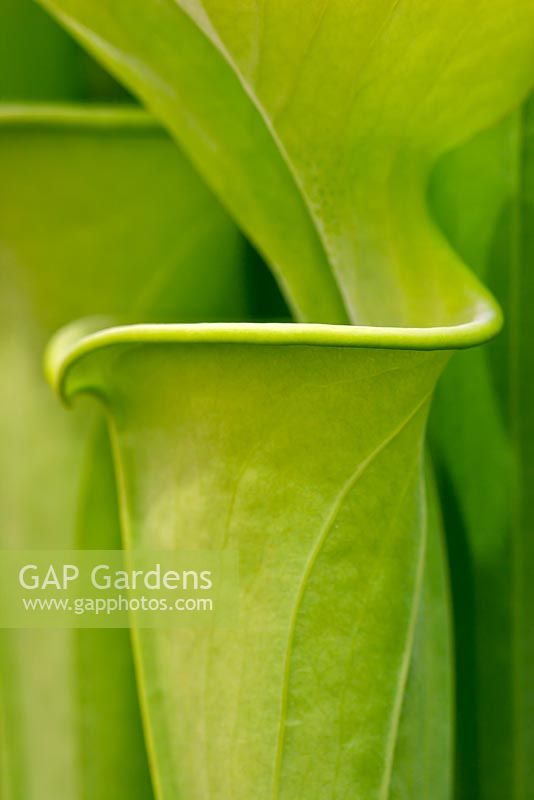 Sarracenia flava - Pitcher Plant, all green form