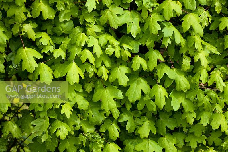 A hedge of Acer campestre - Field Maple
